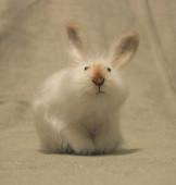 кролик с рыжим носом